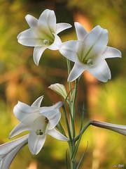 Lírio do campo (Zeca_PR) Tags: flowers macro nature flora natureza flôres