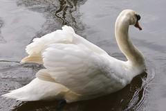 Swan on The River Medway (john47kent) Tags: swan ngc npc rivermedway supershot anawesomeshot flickrdiamond natureselegantshots coth5 5wonderwall sunrays5 vigilantphotographersunite vpu2
