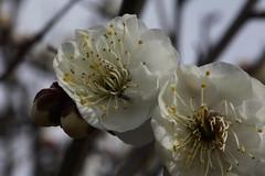 (eyawlk60) Tags: flowers winter favorite plant flower japan spring   nippon ume earlyspring  japaneseapricot  lightandshade    prunusmume