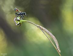 Observando al gusanito (raulgranados) Tags: avispa parasitaria oruga gemetra macro macrofotografa bokeh ngc