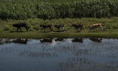 ritm (MrtBzts) Tags: reflection nature water animal river cow nikon outdoor turkiye sigma edirne d7200
