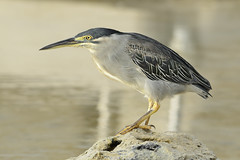 Striated Heron (Ralph J Clark) Tags: striatedheron mauritius sigma150500mmf563dgoshsm