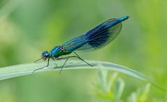 JWL0767 Demoiselle.. (jefflack Wildlife&Nature) Tags: bandeddemoiselle demoiselle odonata insects insect wildlife wetlands glades rivers lakes countryside nature