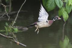 Too Slow! (J. E. Foster) Tags: aixsponsa carolinaduck nikond7100 northamerica potomacriver sigma150500mmf563dgoshsm theodorerooseveltisland washingtondc woodduck animal duck nature perchingduck wildlife