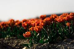 ND5_1925_Lr-edit (Alex-de-Haas) Tags: bloemenbijeenkomst dutch holland lowcountries nederland noordholland thenetherlands westfrieseomringdijk avond beautiful bloemen bloemenvelden colorful colors colourful colours evening flat flower flowerfields kleuren kleurrijk laagland landscape landschap lente licht light mooi nature natuur orangeprincess plat polder spring sun sunny tulipfields tulipa tulips tulpen tulpenvelden westfriesedijk zon zonnig