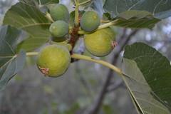 I Fichi (parsal18) Tags: frutta fio fichi