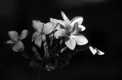 (Kals Pics) Tags: flowers bangalore karnataka lalbagh park lightandlife blackandwhite lightandshadow colorless monochrome blackwhite kalspics