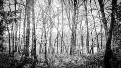 L1130784 (Bruno Meyer Photography) Tags: woods forest trees nowhere photography nature blackandwhitephotography bwphotography bw raw edit leica leicaimages leicacamera leicadlux archives