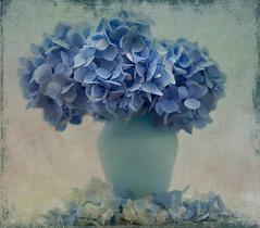 BLUE BLUE (henrhyde (gill)) Tags: hydrangea blue flower vase colour texture macro plant stilllife