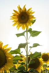 Girasol (alimoche67) Tags: sony josejurado alpha espaa catalua contraluz flores