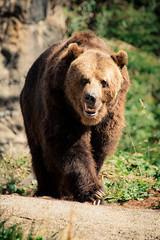 Evacuation (Oddernod) Tags: bear brownbear outdoor zoo seattle woodlandpark animal natura park mammal natural animals wild hiking