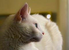 Jasmine (suzeesusie) Tags: cat kitty katze chat gato white weiss blanc blanco profile portrait pet animal furry senior