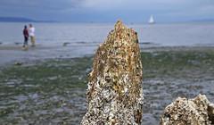 Barnacled Pilings (sea turtle) Tags: seattle goldengardens park goldengardenspark beach goldengardensbeach northseattle pile piles wood barnacles couple sailboat bokeh ballard