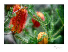 Banksia Dreaming (heritagefutures) Tags: wirraminna open day burrumbuttock nsw australia cindo 85mm cinematic projection lens brass focussing mount filter stepdown stepup rings 7267mm 6772mm 5272mm 3952mm m39 nikon f adapter antique camera simulator anzac long weekend norieul park albury