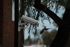 Say Cheese (suzeturn) Tags: bird camera tree wall ballarat flight attack wings wattlebird