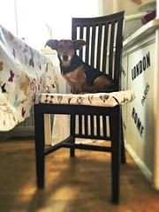 Princess chair (dougfot) Tags: douggoldsmith dog nana