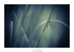 Le camouflage du sniper (Naska Photographie) Tags: naska photographie photo photographe paysage proxy proxyphoto ephemeroptera ephmre insectes extrieur macro macrophotographie macrophoto nature sauvage vegetation