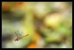 Sympetrum sanguineum 07 (jo.pensel) Tags: bretagne breizh brittany biodiversit finistre france faunedebretagne nature naturebretagne photographebretagne photobretagne imagenature jopensel jocelynpensel jopenselcom jocelynpenselphotographe pensel macrophotographie macro proxyphotographie sigma105mmmacro insecte bugg enthomologie libellule libellules libellulidae odonate odonata vol flight sympetrumrougesang sympetrum sympetrumsanguineum