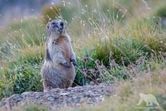 Alpine Marmot (fascinationwildlife) Tags: animal mammal wild wildlife nature natur national park hohe tauern austria sterreich grosglockner mountain range den murmeltier carinthia summer