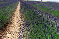 Valensole 13 (mpetr1960) Tags: valensole france europe eu field row rows perspective grass ground nikon nikond800 d800 green