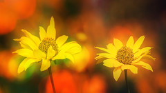 Tardive summer. (augustynbatko) Tags: summer flowers august flower macro nature color yellow bokeh depth field