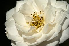Perdita (Shotaku) Tags: flowers macro closeup flower white rose rosa roses center onblack plants