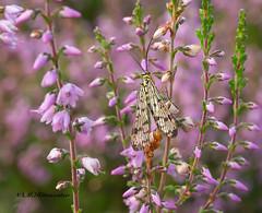 Schorpioenvlieg / Panorpidae (m.ritmeester) Tags: ngc naturelovers natuur nederland hoenderloo gelderland schorpioenvlieg roze groen bruin zwart