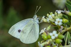 Groer Kohlweiling (Pieris brassicae) (AndreLo2014) Tags: pierisbrassicae kohlweisling butterfly falter sonyalpha77ii a77m2 sigma105mm