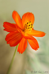 Orange Cosmos #1 (Galib Emon) Tags: orange cosmos bright flower plant serene petal cosmossulphureus depthoffield outdoor beautiful colour natural portrait flickr canon eos 7d efs18135mm f3556 is closeup chittagong bangladesh spring daylight copyright galib emon