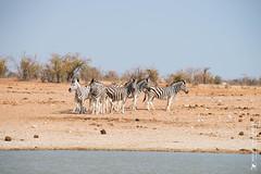 DSC_3575.JPG (manuel.schellenberg) Tags: namibia animal etosha nationalpark zebra