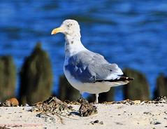 Herring Gull (rumerbob) Tags: herringgull gull waterbird shorebird bird birdwatching birdwatcher nature wildlife wildlifephotographer oceancitynj canon7dmarkii canon100400mmlens