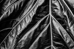Delta (Thad Zajdowicz) Tags: leaf veins nature abstract blackandwhite bw black white monochrome fineart zajdowicz sanmarino california canon eos 5d3 dslr digital indoor inside tropical closeup availablelight lightroom flora plant pattern texture diagonal lines angle light shadow