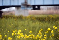L1008445c (haru__q) Tags: leica m8 leitz summicron field mustard