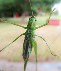 Fork-Tailed Bush Katydid (Lisa Zins) Tags: lisazins tn tennessee bug insect green grasshopper macro canonpowershot sx150 katydid forktailed bush arthropod hexapod orthoptera scudderia scudderiafurcata