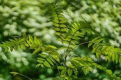 . (kderricotte) Tags: helios40285mm15 bokeh depthoffield sonya6000 blur plant tree outdoor swirly