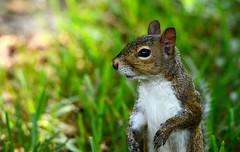 Friendly little squirrel DSC_0248 (blthornburgh) Tags: thornburgh tampa florida backyard nature animal