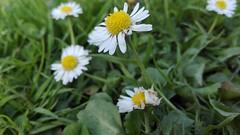 IMG_20160506_174829 (FranktIstAuchNurEinName) Tags: gnseblmchen wiese grass green flower summer daisy annualdaisy gowan