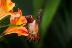 A Frontal Pose (Patricia Ware) Tags: allenshummingbird alstroemeria backyard birdsinflight california canon ef500mmf4lisusm fullframe manhattanbeach multipleflash selasphorussasin tripod httppwarezenfoliocom 2016patriciawareallrightsreserved specanimal