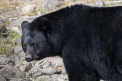 Oso Negro - Canad (robertopastor) Tags: amrica canada canadianrockiesmountain canad fuji montaasrocosas robertopastor viaje oso negro xt2 blueriver bear