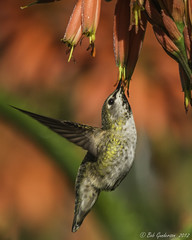Anna's Hummingbird (Bob Gunderson) Tags: sanfrancisco california goldengatepark birds northerncalifornia hummingbirds annashummingbird calypteanna coth dahliagarden avianexcellence coth5 sunrays5