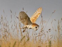 Barn Owl, Wiveton Downs (Norfolk), 27-Oct-12 (Dave Appleton) Tags: bird birds barn alba norfolk owl barnowl birdofprey tytoalba blakeney tyto wiveton wivetondowns