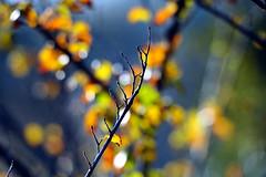 """The loops of nature"" (pigianca) Tags: autumn blur nature colors closeup nikon bokeh natura autunno colori primopiano sfuocato d700 sigma120400"