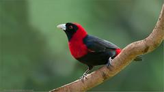 Crimson-collared Tanager (Raymond J Barlow) Tags: red nature costarica wildlife naturallight tanager specanimal 200400vr avianexcellence crimsoncollared nikond300 raymondbarlowtours