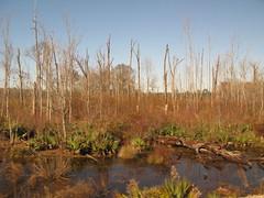 Alabama: winter wetland (green voyage (falling behind again)) Tags: trees winter usa december afternoon alabama trains amtrak swamps wetlands palmetto tupelo sabal nyssa gulfcoastregion