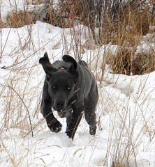 "11.14.12 Gus in the Snow 17 • <a style=""font-size:0.8em;"" href=""http://www.flickr.com/photos/66999112@N00/8259537182/"" target=""_blank"">View on Flickr</a>"