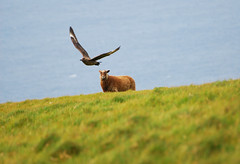 I Due (Wrinzo) Tags: sea island islands scotland europa europe sheep shetland isola foula skua scozia atlanticsea isole pecora northernsea stercorariusskua oceanoatlantico dakame shetlandsheeps