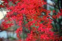 Enkianthus Autumn Leaves (love_child_kyoto) Tags: travel autumn nature temple kyoto gardening autumnleaves    enkianthus   enkianthusperulatus  dodantsutsuji     autumninkyoto shinnyodotemple