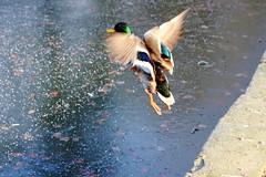 Mallard Away (Trev Earl) Tags: nature canon bedford frozen frost wildlife bedfordshire ducks mallard drake wildbird 50d yahoo:yourpictures=yourbestphotoof2012 yahoo:yourpictures=winterv2 ilobsterit