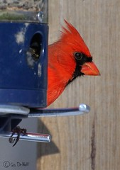 PeekABooD90-030500w (PhotosByGil) Tags: bird birds cardinal malecardinal mygearandme