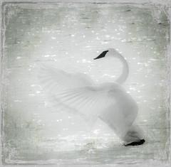 Swan (Phiddy1) Tags: magicunicornverybest magicunicornmasterpiece creativephotocafe besteverdigitalphotography besteverexcellencegallery